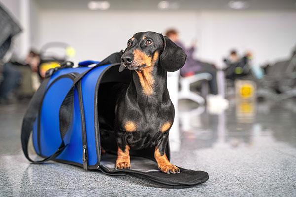Hund in Transporttasche am Flughafen